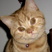 Hi! It's me when I was a kitten. I'm a straight-eared Scottish Fold.